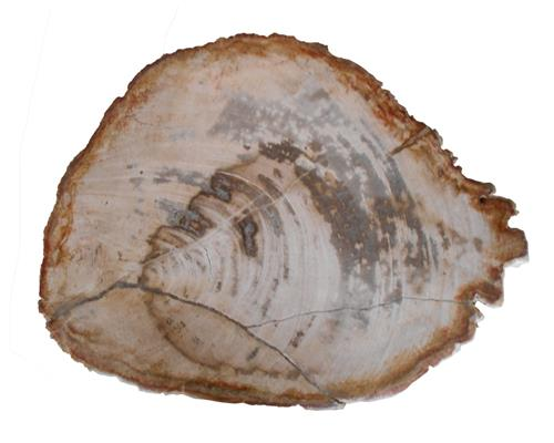 Petrified Wood Slab#SLTP337