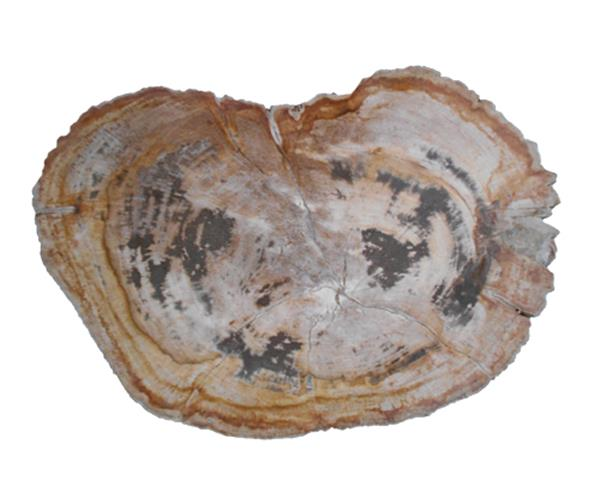 Petrified Wood Slab#SLTP467
