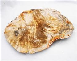 Petrified Wood Large Plate#PLT06